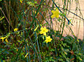 2006-12-01Jasminum nudiflorum10.jpg