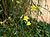 2006-12-01Jasminum nudiflorum10.jpg