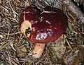 2008-07-21 Lactarius badiosanguineus Kühner & Romagn 41545-small.jpg