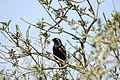 2010-04-02 (32) Star, Common starling, Strunus vulgaris.JPG
