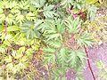 20110703-Rubus laciniatus.jpg