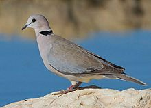 2012 Ring-necked Dove, crop.jpg