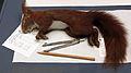 2013-03 Naturkundemuseum Berlin Taxidermie Eichhörnchen Sciurus vulgaris anagoria 0.JPG