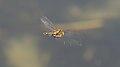 2013.06.07.-03-Kaefertaler Wald-Mannheim-Gemeine Smaragdlibelle-Maennchen im Flug.jpg