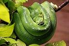 20130526 Morelia viridis 4900.jpg
