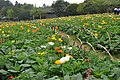 2014-04-04 石象湖 郁金香 liuzusai - panoramio (84).jpg