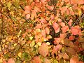 2014-10-29 13 01 15 Shrub during autumn leaf coloration in Ewing, New Jersey.JPG