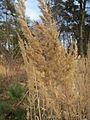 20140327Calamagrostis epigejos2.jpg