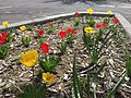 2015-04-19 14 18 07 Red and yellow tulips along Railroad Street in Elko, Nevada.jpg