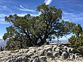 2015-04-28 13 01 31 An older Single-leaf Pinyon at the highest point on the south wall of Maverick Canyon, Nevada.jpg