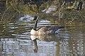 20150323 028 Kessel Weerdbeemden Grote Canadese Gans (16906929405).jpg