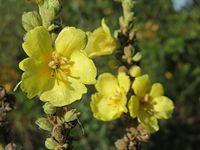 20150930Verbascum thapsus2.jpg