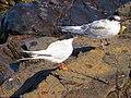 2016-08-17 Sterna dougallii, St Marys Island, Northumberland 09.jpg
