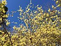 2016-10-25 10 37 35 American Witch-Hazel blooming at the Fishers Gap Overlook along Shenandoah National Park's Skyline Drive on the border of Page County, Virginia and Madison County, Virginia.jpg
