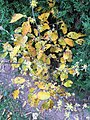 2016-11-28 11 06 54 American witch-hazel flowers and autumn foliage along Tranquility Court in the Franklin Farm section of Oak Hill, Fairfax County, Virginia.jpg
