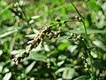 20160821Persicaria hydropiper4.jpg
