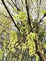 2017-04-10 17 25 35 Sugar Maple flowers along Franklin Farm Road near Thorngate Drive in the Franklin Farm section of Oak Hill, Fairfax County, Virginia.jpg