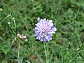 2017-07-28 (123) Knautia arvensis (field scabious) at Haltgraben in Frankenfels.jpg