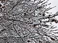 2018-03-21 12 51 02 Snow-covered Red Maple branches and flowers along a walking path in the Franklin Farm section of Oak Hill, Fairfax County, Virginia.jpg