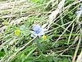 2018-09-11 Chichory flower (Cichorium intybus), Trimingham (1).JPG