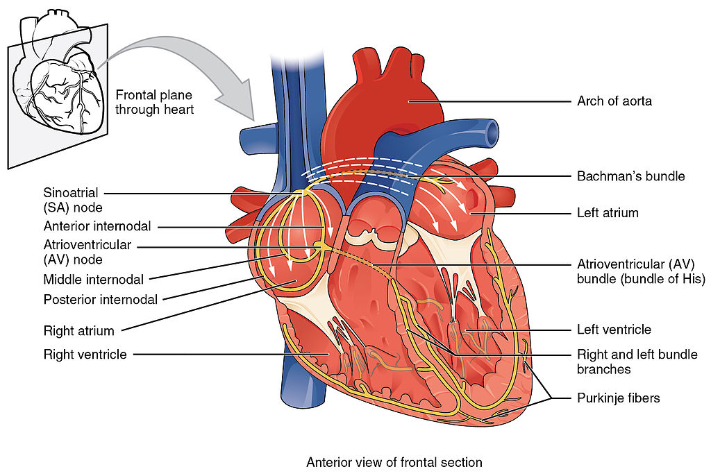 2018 Conduction System of Heart