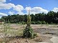 20210729Verbascum thapsus1.jpg