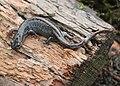 2870 long toed salamander munsel (15747773287).jpg