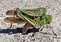 2 Migratory locust Locusta migratoria.jpg