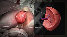 3D medical animation still showing structure of as well as location of the spleen in human body