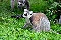 50 Jahre Knie's Kinderzoo Rapperswil - Lemur catta 2012-10-03 15-31-54.JPG