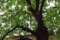 51-101-5019 Oak DSC 3848.jpg
