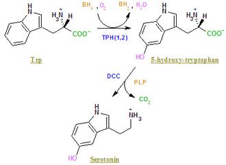 Tryptophan hydroxylase - Image: 5htsynt 2