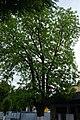 68-104-5015 горіх чорний Кам'янець-Подільський.jpg