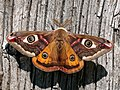 68.001 BF1643 Emperor Moth, Saturnia pavonia, male. (2495809127).jpg