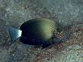 A. maculiceps.jpg
