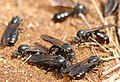 AFRICAN THIEF ANT TWO.jpg