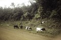 ASC Leiden - F. van der Kraaij Collection - 06 - 008 - Four cows alongside an unpaved road with three goats - Maryland County, Liberia, 1978.tif