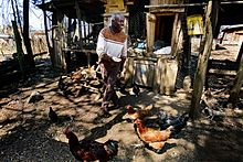 Poultry farming in Kenya - Wikipedia
