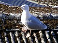 A Herring Gull at Montrose - geograph.org.uk - 1310238.jpg