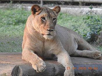 A Lioness At Leisure.jpg