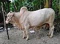 A Mirkadim bull in the countryside of Bangladesh.jpg