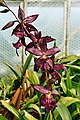 A and B Larsen orchids - Beallara Marfitch Howards Dream 1004-12.jpg