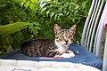 A feral cat in Budva, Montenegro.jpg