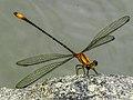 A libélula.jpg