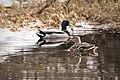 A male and female mallard duck in Denali (b6293d16-ff35-4223-b49a-c962f5dd31ec).jpg