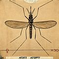 A mosquito (Aedes aegypti). Coloured drawing by A Wellcome V0022549.jpg