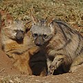 Aardwolf, Proteles cristata, at Lion and Rhino Reserve, Gauteng, South Africa (47987258716).jpg