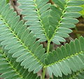 Acacia - leaf detail (6652577893).jpg