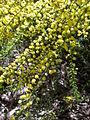 Acacia acinacea.JPG