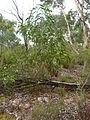 Acacia implexa young 1.jpg